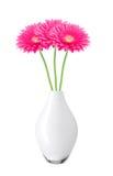 美丽的桃红色大丁草雏菊在白色隔绝的花瓶开花 库存图片