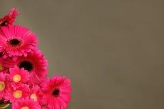 美丽的桃红色大丁草 免版税库存照片
