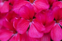美丽的桃红色大竺葵花关闭  免版税库存图片