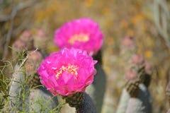 美丽的桃红色开花的仙人掌在沙漠 免版税库存图片