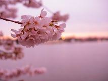 美丽的桃红色开花 免版税库存照片