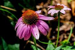 美丽的桃红色或紫色Coneflower的详细的特写镜头 免版税库存照片