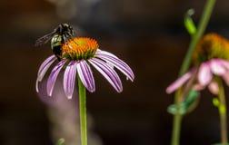 美丽的桃红色或紫色Coneflower的详细的特写镜头 图库摄影