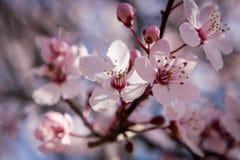美丽的桃红色春天樱花 免版税库存图片