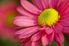 美丽的桃红色春黄菊 免版税库存图片