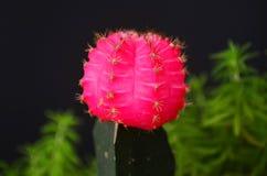 美丽的桃红色月亮仙人掌在黑背景中 免版税库存图片