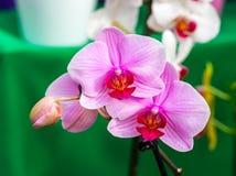 美丽的桃红色月亮兰花,兰花植物amabilis特写镜头,在绿色背景 免版税图库摄影