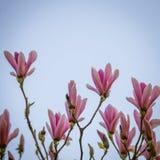 美丽的桃红色木兰在自然本底开花 库存图片