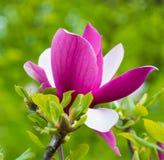 美丽的桃红色木兰花开花特写镜头 库存图片