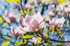 美丽的桃红色木兰花开花特写镜头 免版税图库摄影