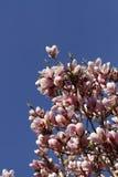 美丽的桃红色木兰花 免版税库存图片
