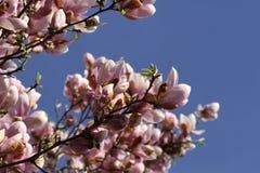 美丽的桃红色木兰花 免版税库存照片