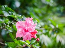 美丽的桃红色木槿在春季开花在一个植物园 免版税库存图片