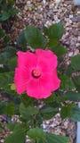 美丽的桃红色木槿 库存照片