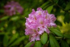 美丽的桃红色杜鹃花在自然本底开花 免版税图库摄影