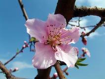 美丽的桃红色桃子花 库存图片