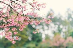 美丽的桃红色樱花花在泰国 免版税库存照片