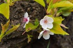美丽的桃红色樱花,桃红色佐仓 免版税库存照片