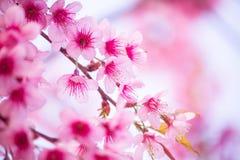 美丽的桃红色樱花 免版税库存照片