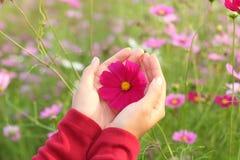 美丽的桃红色波斯菊花在手边 免版税库存图片