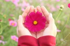 美丽的桃红色波斯菊花在手边 图库摄影