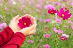 美丽的桃红色波斯菊花在手边 免版税库存照片