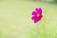 美丽的桃红色波斯菊花 免版税库存照片