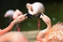 美丽的桃红色火鸟在看栖所的自然战斗 免版税库存图片