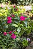 美丽的桃红色热带花 库存照片