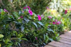 美丽的桃红色热带花 免版税库存图片