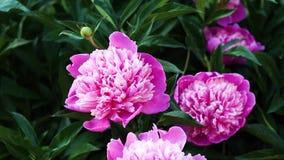 美丽的桃红色牡丹在庭院里增长 股票视频