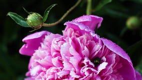 美丽的桃红色牡丹在庭院里增长 股票录像