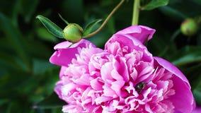 美丽的桃红色牡丹在庭院里增长 影视素材