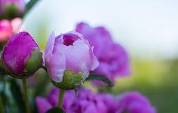 美丽的桃红色牡丹在我的庭院里 库存图片