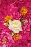 美丽的桃红色牡丹开花与白色选拔玫瑰色 图库摄影