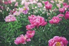 美丽的桃红色牡丹花、绿色和bokeh照明设备在庭院里,夏天室外花卉自然背景 库存图片