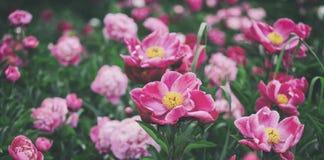 美丽的桃红色牡丹花、绿色和bokeh照明设备在庭院里,夏天室外花卉自然背景 库存照片