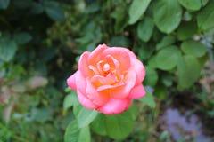 美丽的桃红色玫瑰和绿色叶子 免版税库存照片