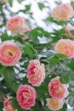 美丽的桃红色玫瑰在夏天庭院里 免版税库存照片
