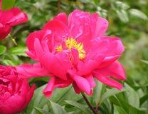 美丽的桃红色玫瑰在庭院里 免版税库存照片