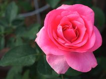 美丽的桃红色玫瑰在庭院里 库存图片