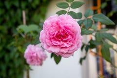 美丽的桃红色玫瑰在庭院里 免版税库存图片