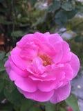 美丽的桃红色玫瑰在庭院里 库存照片