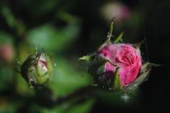 美丽的桃红色玫瑰在庭院,在绿色背景的两朵玫瑰里开花 免版税库存照片