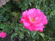 美丽的桃红色玫瑰摘要  免版税库存照片