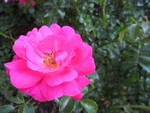 美丽的桃红色玫瑰摘要  库存图片