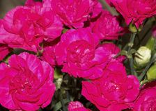 美丽的桃红色玫瑰美妙的设计  免版税库存图片