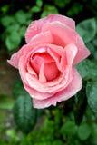 美丽的桃红色玫瑰色花 库存照片