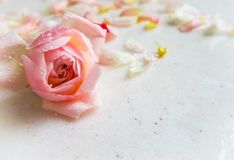 美丽的桃红色玫瑰色芽和瓣有露滴的在大理石 完善的背景贺卡为生日,情人节 免版税库存照片