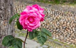 美丽的桃红色玫瑰被看见反对鹅卵石街道背景 免版税库存照片